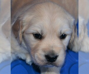 Golden Retriever Puppy for sale in PARKER, CO, USA