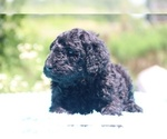 Small #22 Poodle (Standard)