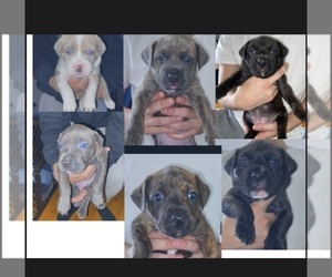 American Pit Bull Terrier Puppy for Sale in LAKE HOPATCONG, New Jersey USA