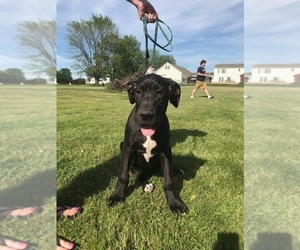 Great Dane Puppy for sale in WATERLOO, NY, USA