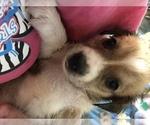 Puppy 2 Beagle-Siberian Husky Mix