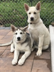 View Ad Gerberian Shepsky Mix Puppy For Sale New Jersey Jersey