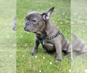 French Bulldog Puppy for Sale in METUCHEN, New Jersey USA