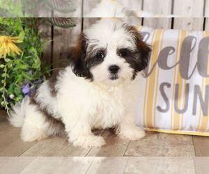 Maltese Dog for Adoption in MOUNT VERNON, Ohio USA