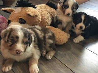 Miniature Australian Shepherd Puppy For Sale in SIDNEY CENTER, NY