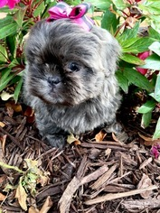 Shih Tzu Puppy For Sale in PEMBROKE PINES, FL