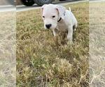 Small #16 Dogo Argentino