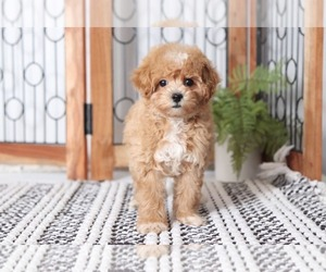 Maltipoo Dog for Adoption in NAPLES, Florida USA