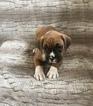 Small #10 Boxer