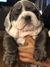 Bulldog Puppy for sale in STOCKBRIDGE, GA, USA