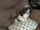 Shih Tzu Puppy For Sale in ARDMORE, NC, USA