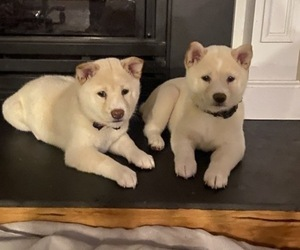 Shiba Inu Puppy for sale in HAMPTON, VA, USA