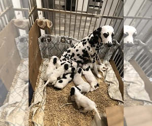 Dalmatian-English Springer Spaniel Mix Puppy for sale in JERSEY CITY, NJ, USA