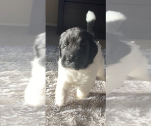 Newfoundland Puppy for Sale in CORONA, Arizona USA