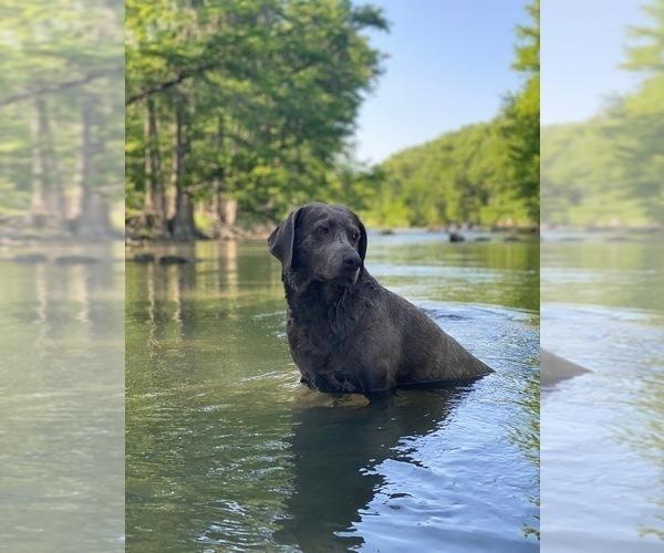 Medium Photo #1 Labrador Retriever Puppy For Sale in BULVERDE, TX, USA