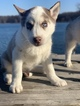 Siberian Husky Puppy For Sale in LANSING, IL, USA