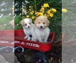 Goldendoodle-Poodle (Miniature) Mix Puppy For Sale in MILLERSBURG, PA, USA