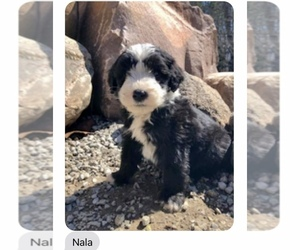 Sheepadoodle Puppy for Sale in GRABILL, Indiana USA