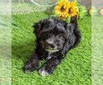 Small #1 Maltipoo-Poodle (Miniature) Mix