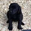 AKC Labrador Retriever Pups