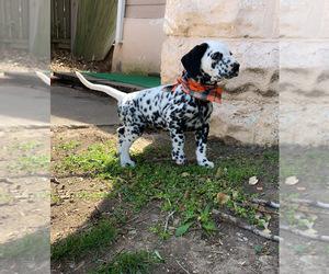 Dalmatian Puppy for sale in WICHITA, KS, USA