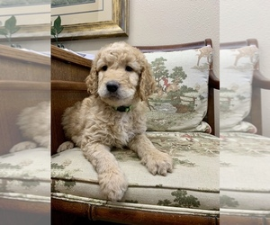 Goldendoodle Puppy for Sale in ELIZABETH, Colorado USA
