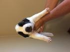 Saint Bernard Puppy For Sale in ARCADIA, FL, USA