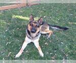 Small #1054 German Shepherd Dog