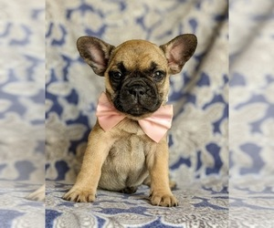 French Bulldog Puppy for sale in CHRISTIANA, PA, USA