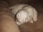 Puppy 3 Bichon Frise