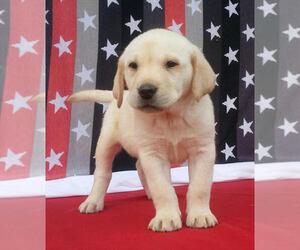 Labrador Retriever Dog for Adoption in MILLERSBURG, Ohio USA