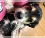 Puppy 5 Beagle-Siberian Husky Mix