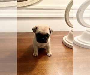 Pug Puppy for sale in WEST NEWBURY, MA, USA