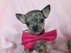 Chihuahua Puppy For Sale in EAST EARL, PA, USA