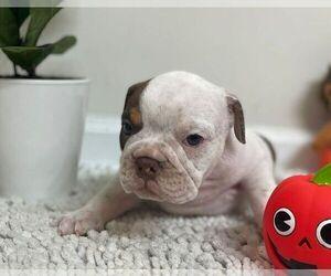 English Bulldog Puppy for sale in JOHNS ISLAND, SC, USA