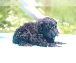Small #28 Poodle (Standard)