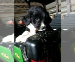 Small #7 Aussiedoodle