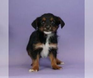 Chorkie Puppy for Sale in WARSAW, Indiana USA