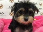 Shorkie Tzu Puppy For Sale in TEMPLE CITY, CA, USA