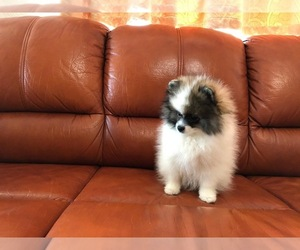 Pomeranian Puppy for Sale in STATEN ISLAND, New York USA