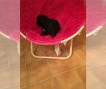 Small #4 Portuguese Water Dog