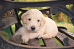 Labradoodle Puppy For Sale in OGDEN, UT, USA