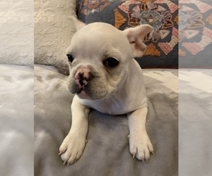 French Bulldog Puppy for Sale in JOHNS ISLAND, South Carolina USA
