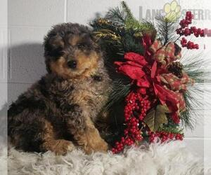 Miniature Bernedoodle-Poodle (Miniature) Mix Puppy for Sale in MBORO, Tennessee USA