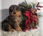 Small Miniature Bernedoodle-Poodle (Miniature) Mix