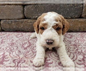 Goldendoodle-Poodle (Toy) Mix Puppy for sale in MENOMONEE FALLS, WI, USA