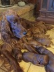 Irish Setter Puppy For Sale in GREENVILLE, TX