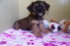 Shorkie Tzu Puppy For Sale in PATERSON, NJ, USA