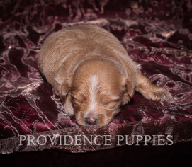 View Ad Poovanese Puppy For Sale Near Iowa Wayland Usa Adn 73997
