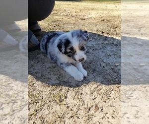 Australian Shepherd Puppy for sale in TYLER, TX, USA